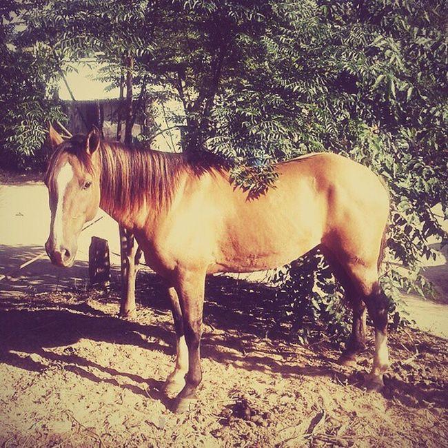 E como não amar 🐴 ❤ 🔝 🔝 🔝 🔝 🔝 Love Baio Horse Amoreternoporcavalos cowboysxcowgirls cawboys&cowgirslpqs