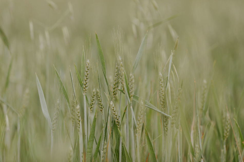 Agriculture Beauty In Nature Cereal Cereal Plant Close-up Crop  Day Ear Of Wheat Farm Field Grass Green Color Growth Nature No People Outdoors Plant Portugal Rural Scene Tranquility Wheat Wheat Wheat Field