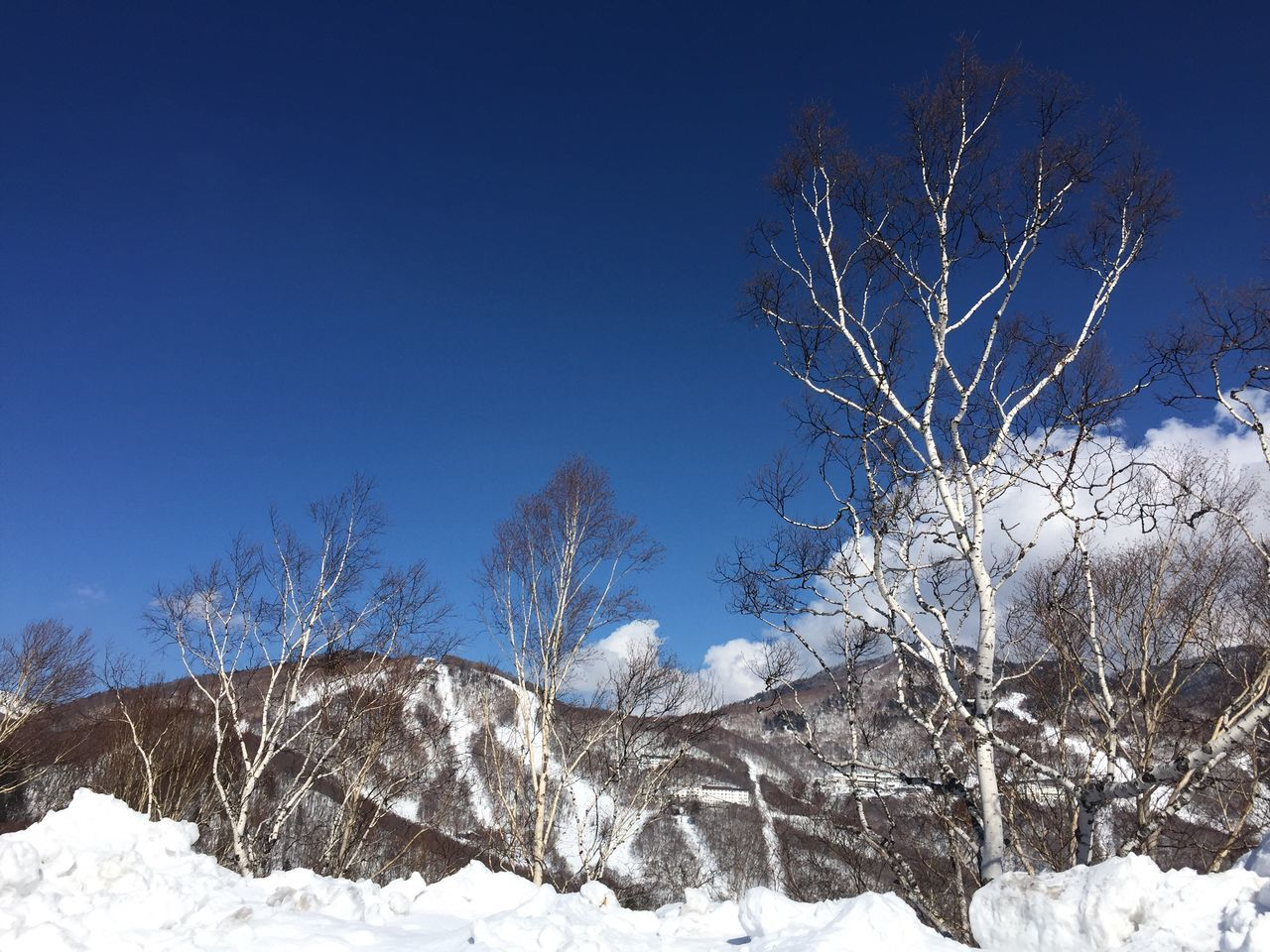 Ski week Snow Cold Temperature Tree Winter Clear Sky Blue Nature Low Angle View Bare Tree Beauty In Nature Branch Outdoors Scenics No People Tranquility Day Sky Ski Ski Holiday Ski Resort  Mountain Snowcapped Mountain Cloud - Sky Weather Nagano Prefecture,Japan