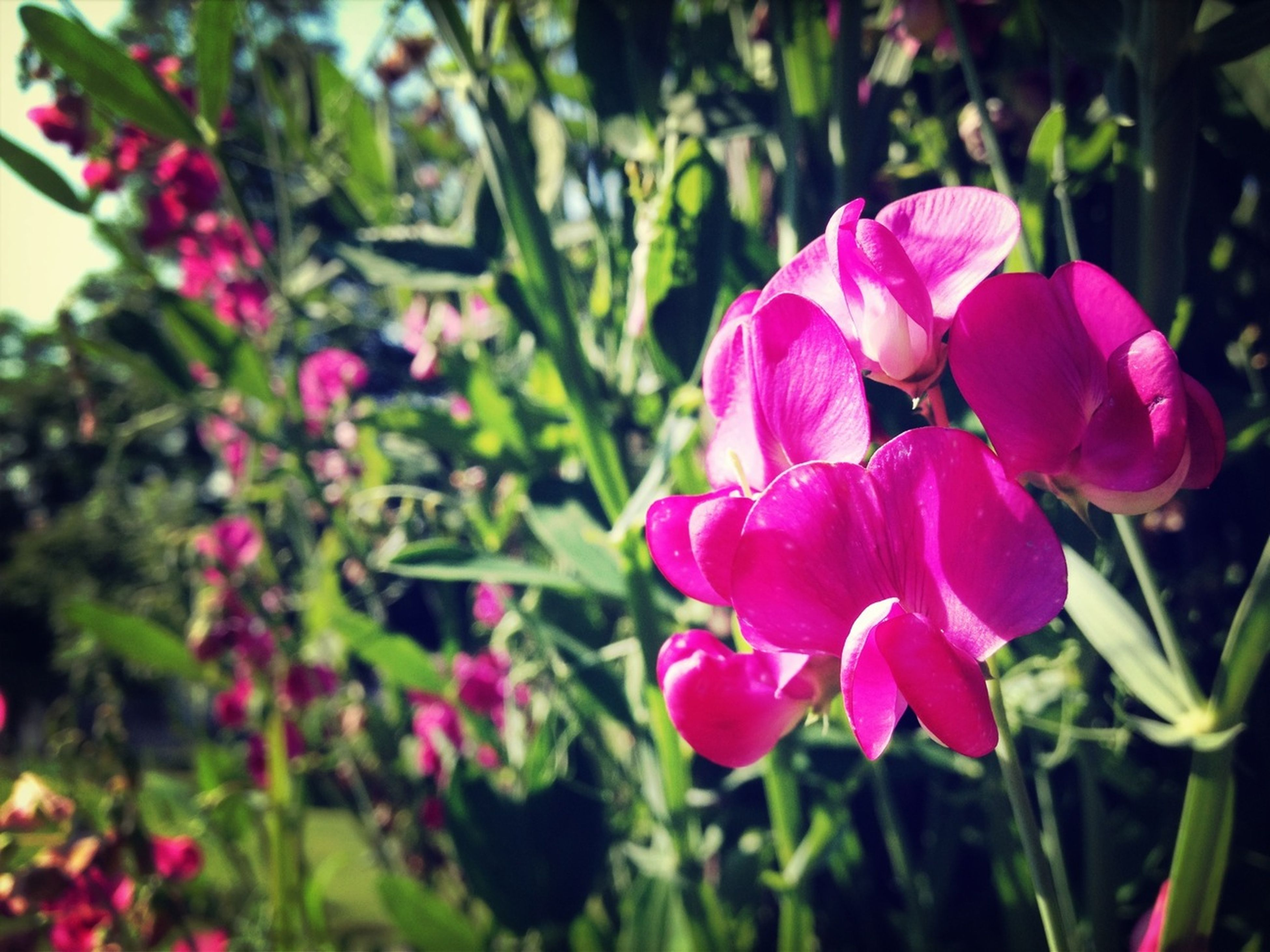 flower, freshness, petal, fragility, growth, pink color, beauty in nature, flower head, blooming, focus on foreground, nature, plant, close-up, in bloom, park - man made space, day, leaf, stem, outdoors, blossom