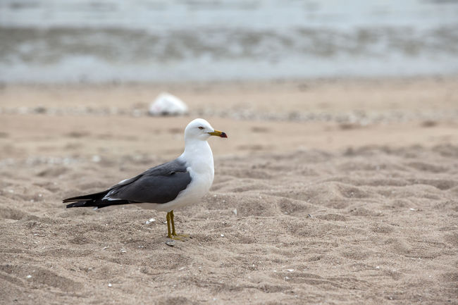 Beach Beauty In Nature Bird Close-up Day Focus On Foreground Lonely Nature No People Outdoors Sand Sea Gull Seagull Selective Focus Shore Single The One Tranquil Scene Tranquility Wild Life