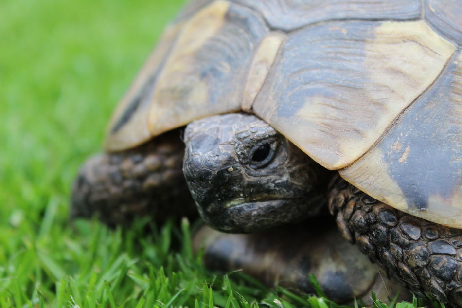 Turbo Animal Shell Animal Themes Animal Wildlife Animals In The Wild Close-up Day Focus On Foreground Grass Nature No People One Animal Outdoors Portrait Reptile Sea Turtle Tortoise Tortoise Shell Turtle Wildlife Canonphotography Turtles Turtle 🐢 Pet Photography  Close Up