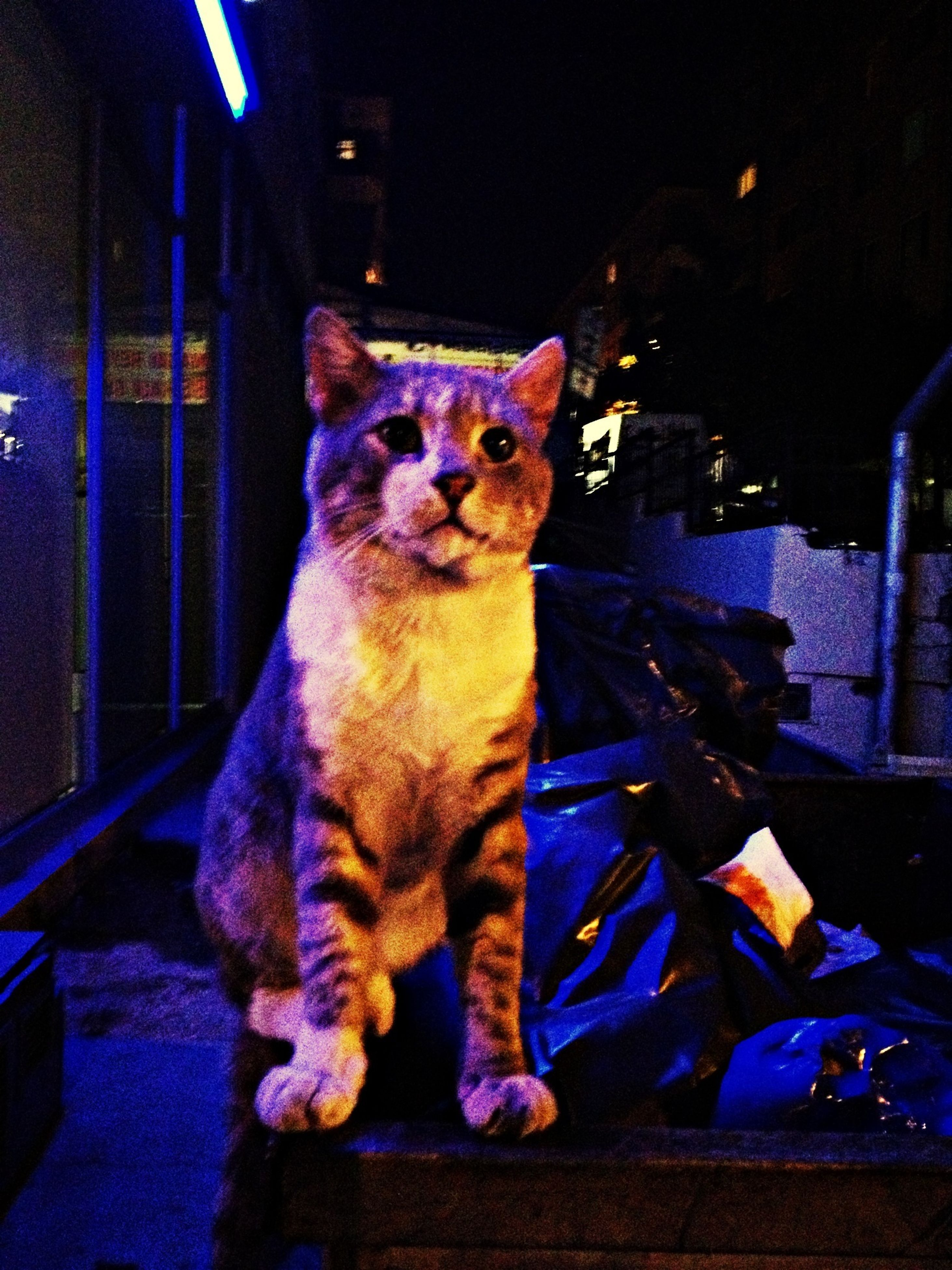 night, one animal, animal themes, illuminated, domestic animals, indoors, pets, blue, mammal, domestic cat, animal representation, multi colored, sitting, art and craft, cat, art, full length, creativity, side view, built structure