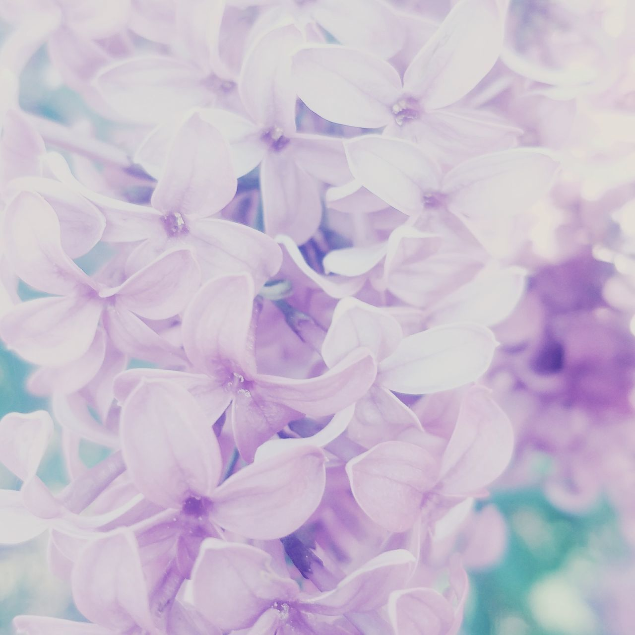 Flower Close-up Freshness Pastel Colored Pink Blush Pink Nudecolour Flower Head Beauty In Nature Petal Lilac Blossoms Hyacinth Flower