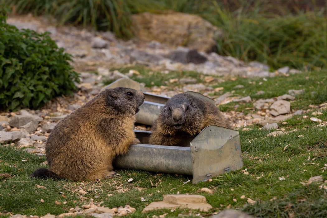 Alpine marmot Alpine Marmot Animal Animal Themes Animals Marmota Marmota Outdoors