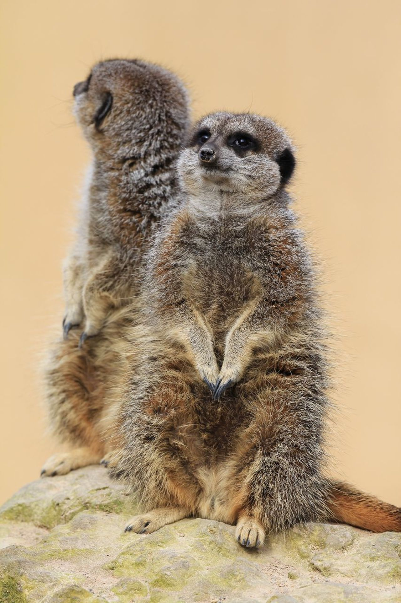 Animal Themes Animals In The Wild One Animal No People Mammal Animal Wildlife Close-up Nature Outdoors Day Meerkat Standing Wildlife Wildlife & Nature Fur Cute Nosy Sand EyeEm Best Shots Check This Out Portrait Couple Friends