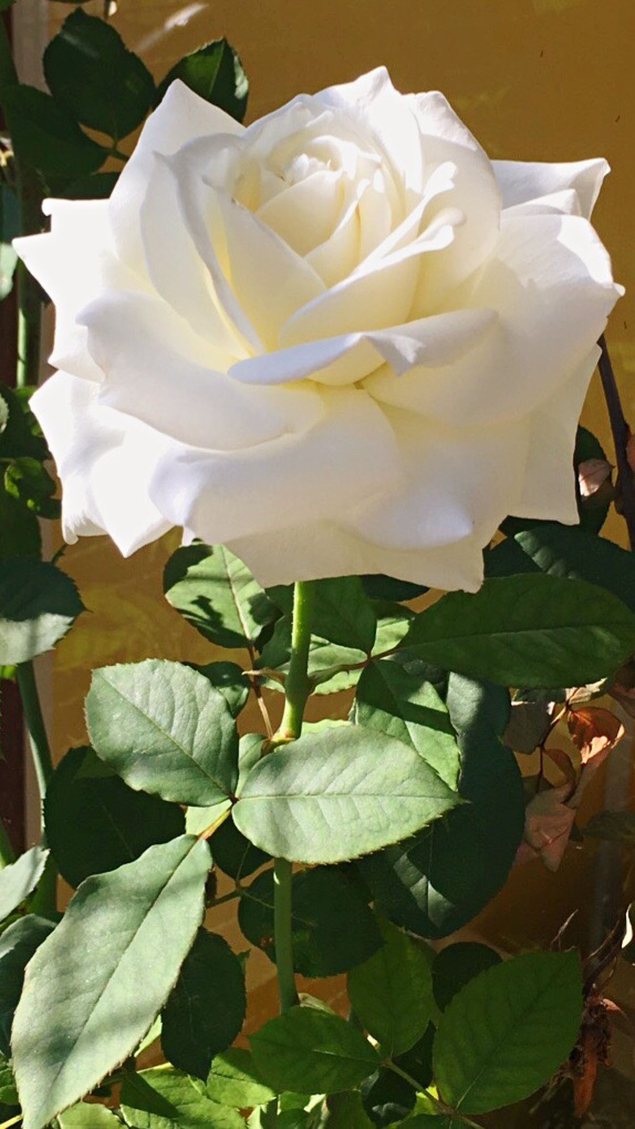 Whiterose White Flower Love Brazil Roses Sharinglove Amazing Beauty In Nature Nature_collection Nature Photography Naturelovers Nature_shooters
