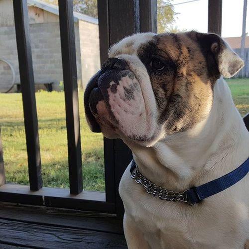 Here's your new model, Henry! Striking an organic pose with ease. Bulldog Henry EnglishBulldog Dog dogsofinstagram