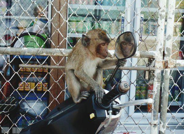 hello handsome Monkey Mammal No People Outdoors Animal Themes Animals In The Wild Thailand Looking In The Mirror Scooter Fence Let's Go. Together. Done That. Been There. Connected By Travel