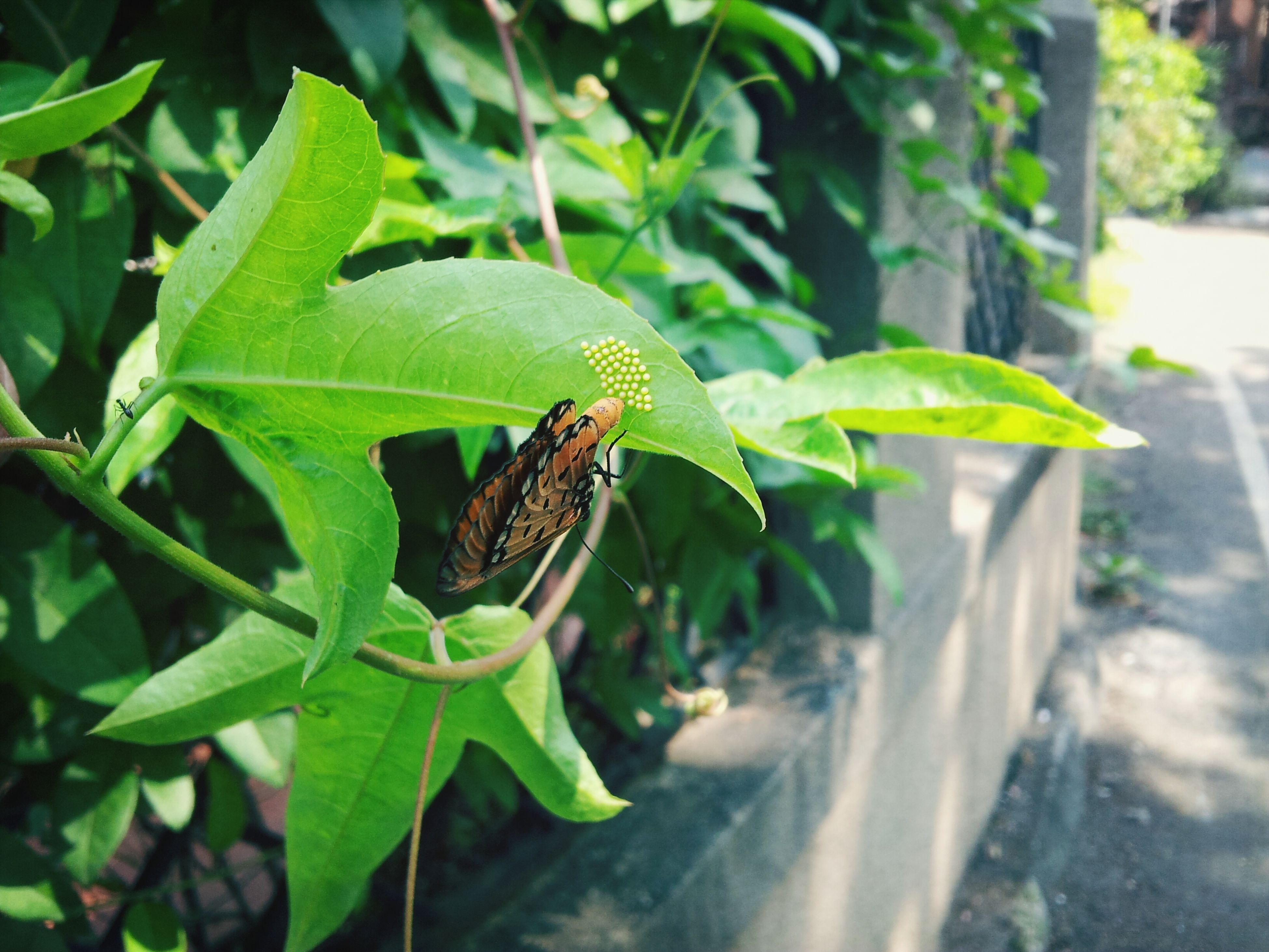 one animal, animals in the wild, animal themes, wildlife, insect, leaf, green color, butterfly - insect, close-up, focus on foreground, plant, nature, full length, perching, butterfly, animal antenna, beauty in nature, natural pattern, outdoors, high angle view