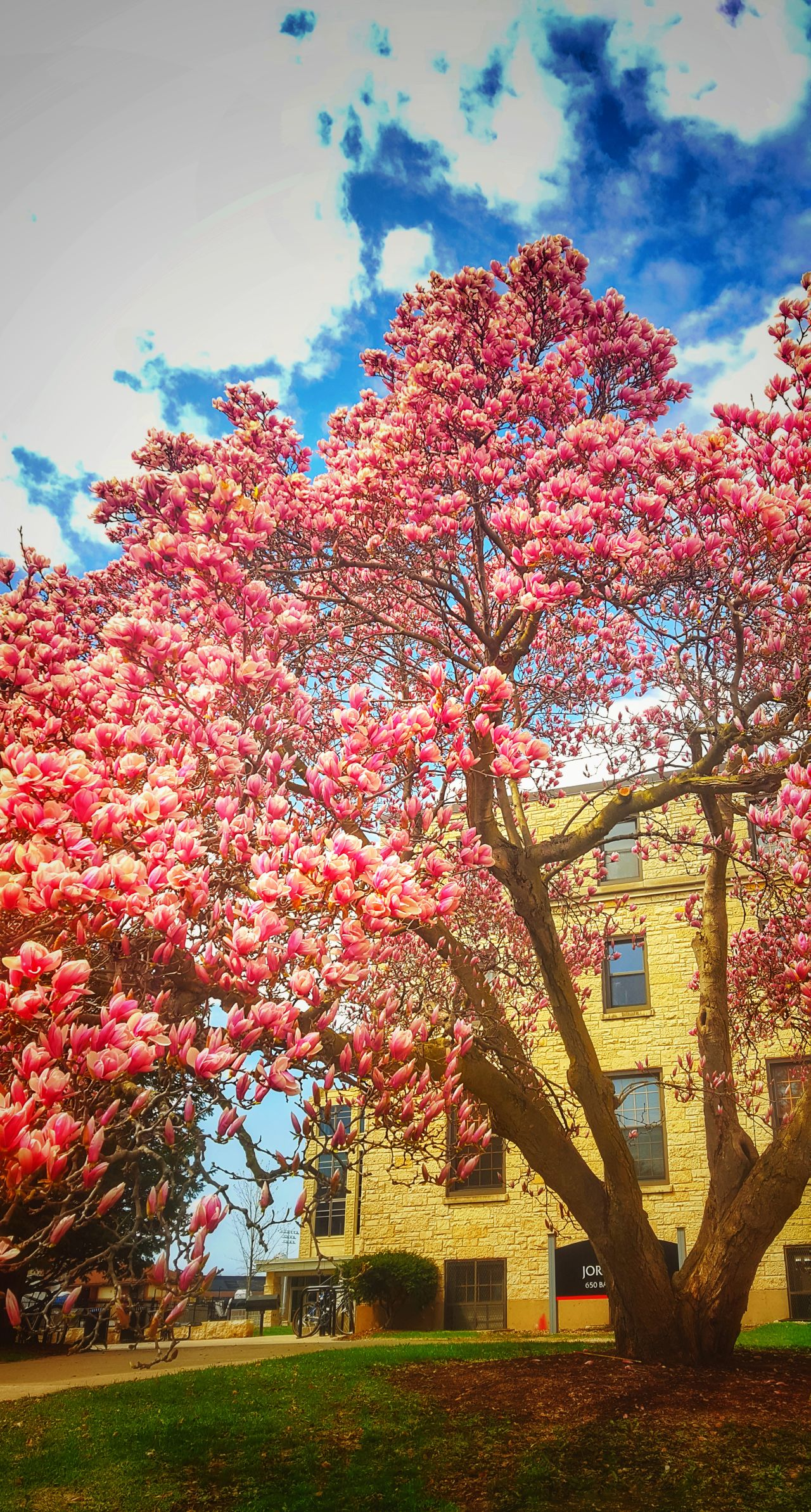 Edits Beauty In Nature Tree Lilytree Flowertrees Outdoors Nature Low Angle View Lunchtime Walk Springtime AndroidPhotography