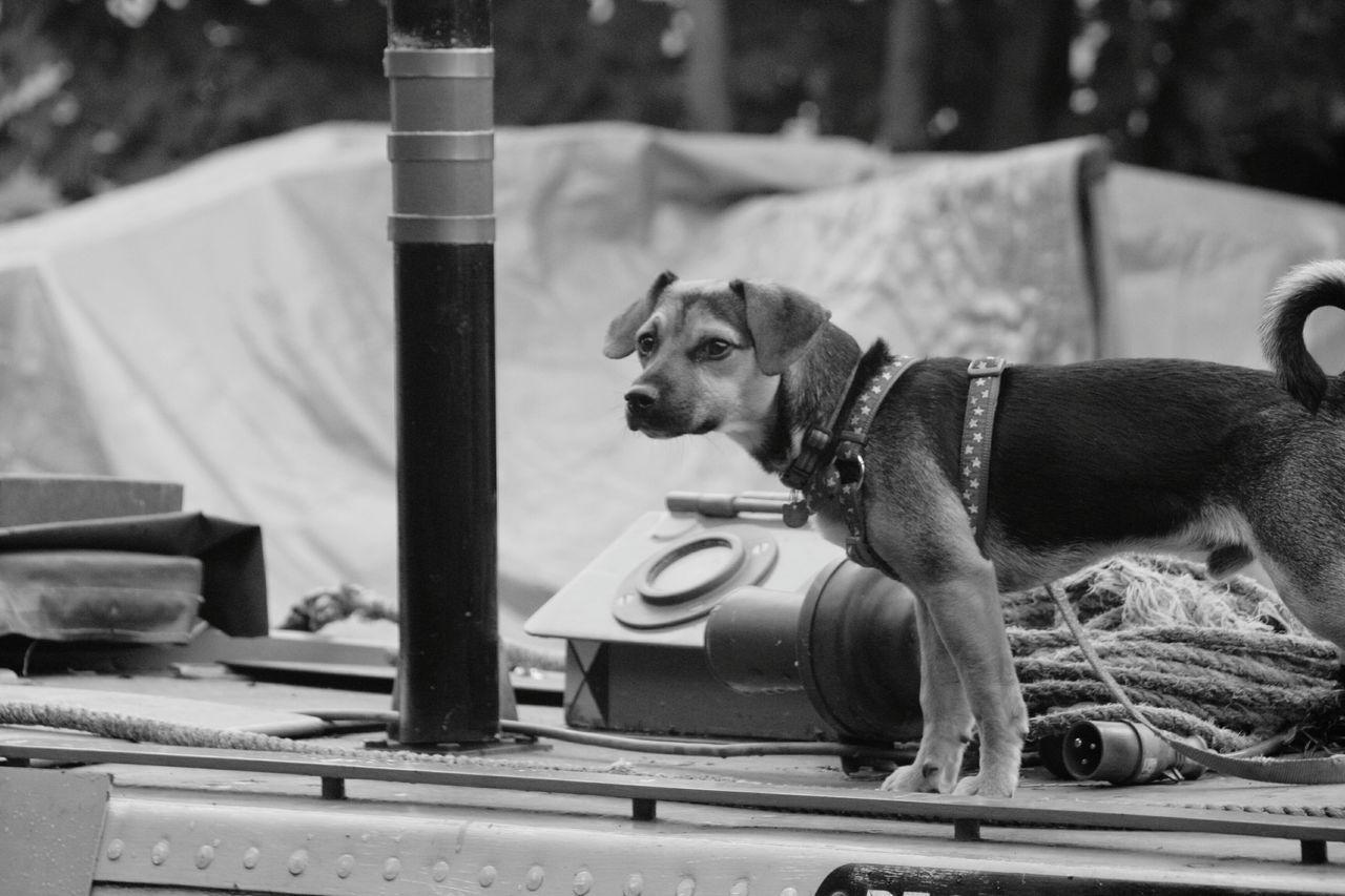 Alert Security Dog On Boat At Harbor