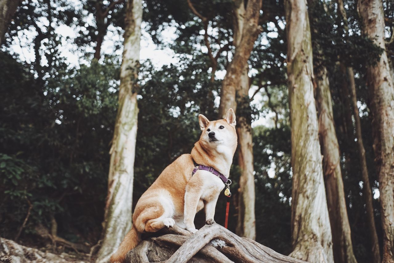 Low Angle View Of Shiba Inu Sitting In Forest