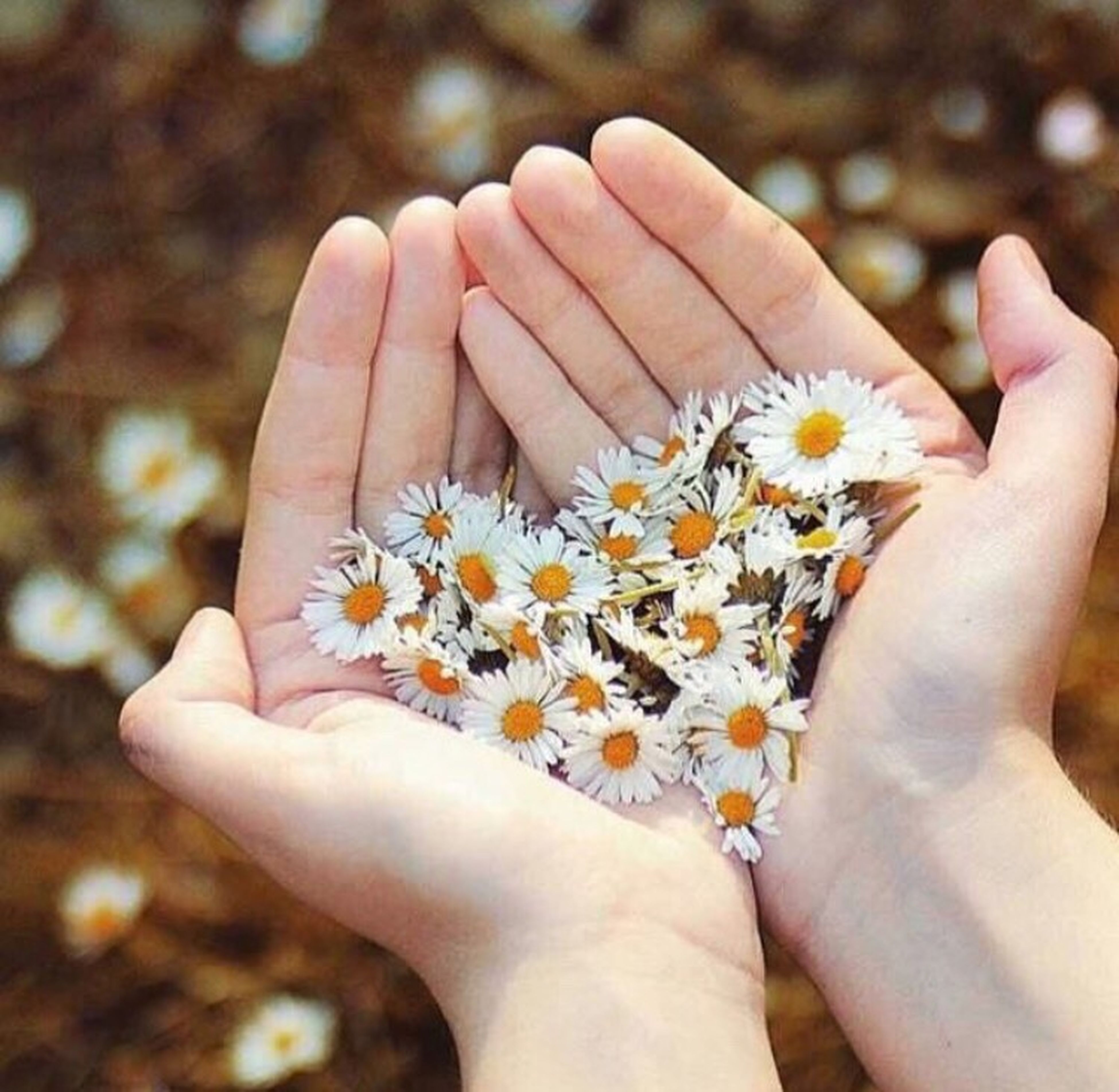 person, flower, holding, personal perspective, part of, petal, fragility, human finger, flower head, freshness, lifestyles, unrecognizable person, cropped, daisy, close-up, leisure activity