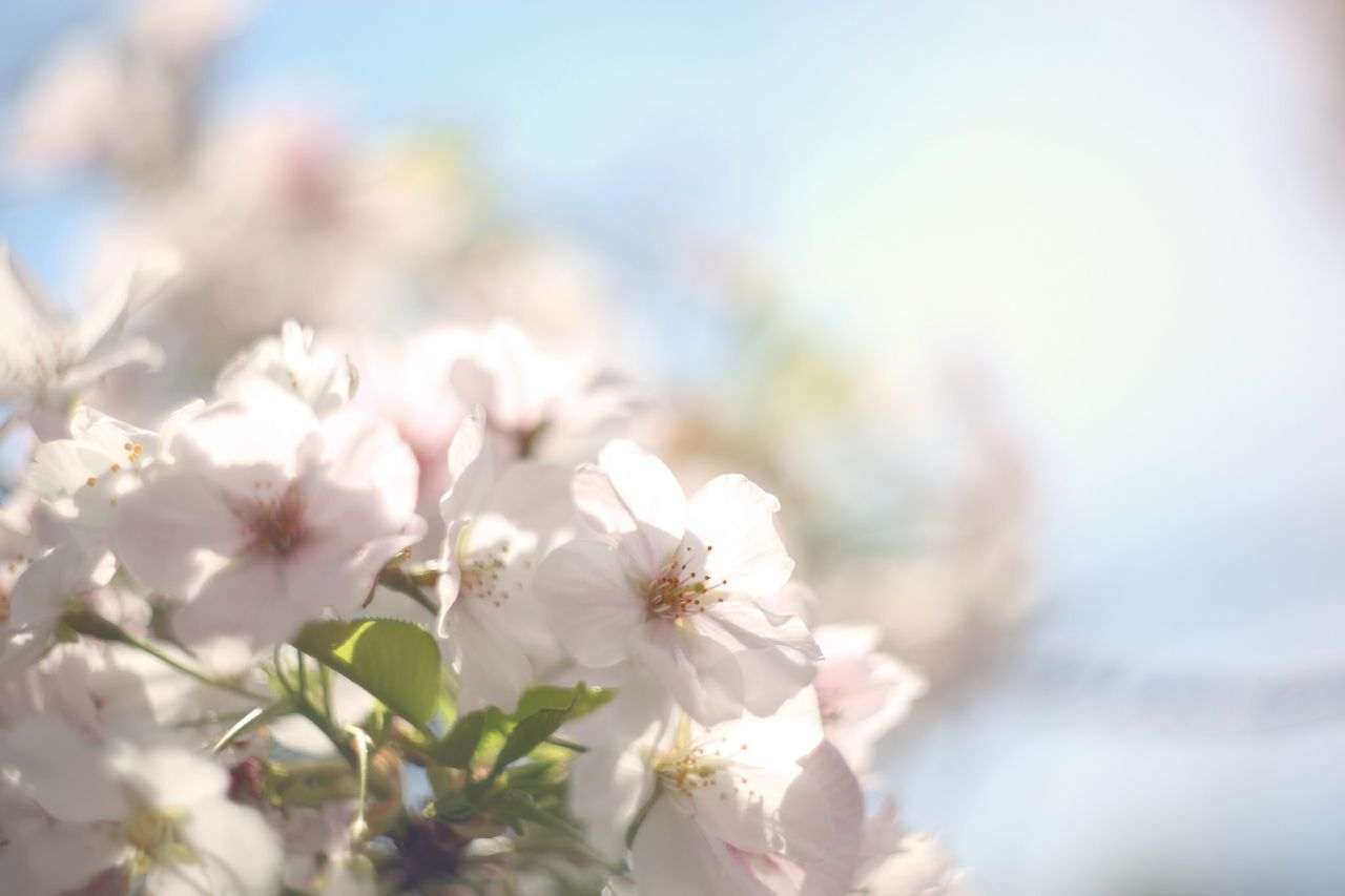 Beautiful stock photos of easter, Beauty In Nature, Blooming, Cherry Blossom, Close-Up