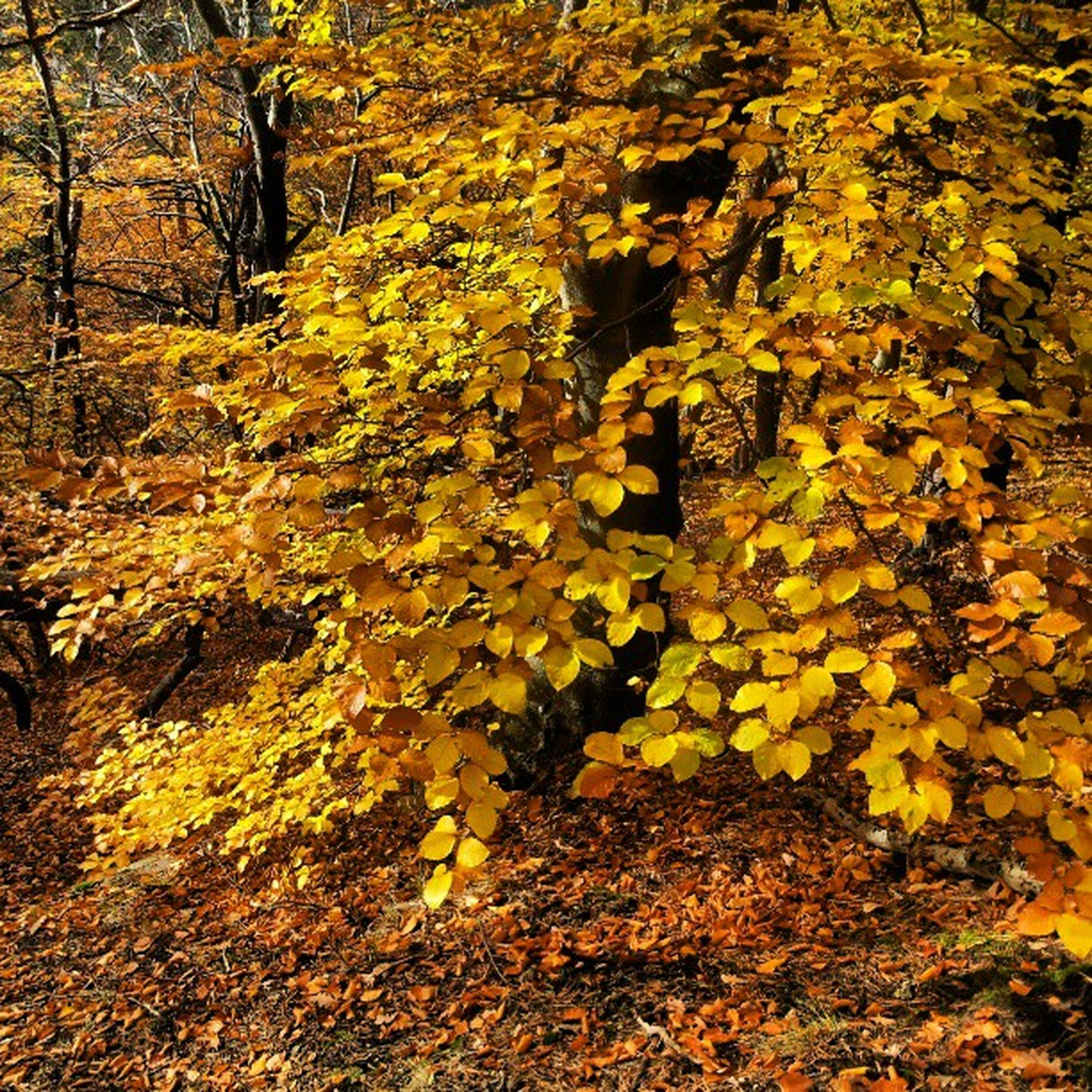 autumn, tree, change, yellow, leaf, season, tranquility, nature, branch, growth, beauty in nature, forest, tree trunk, tranquil scene, fallen, scenics, orange color, day, outdoors, no people