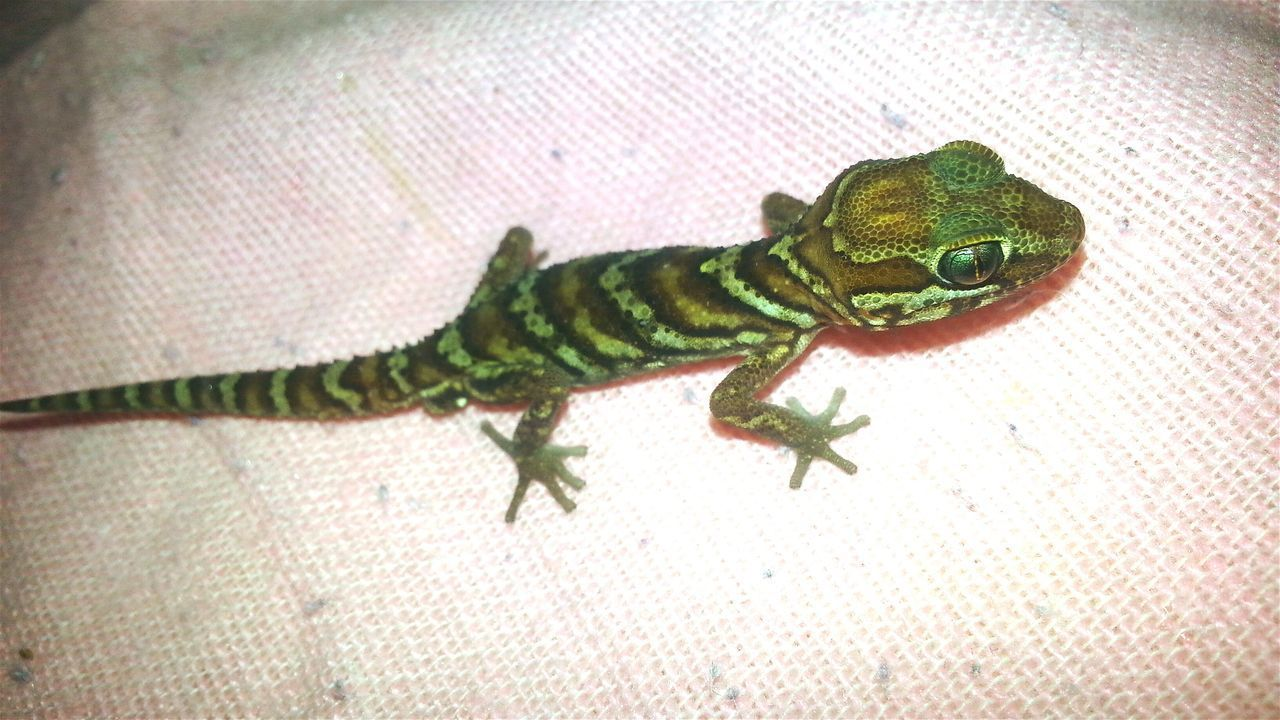 Young Paroedura picta male. PICTA Young Male One Animal No People Special_shots Jurassic World Exotic Exotic Animals Jurassic World Of Dino's God's Beauty Dino's Photography Exotic Creatures Animal Themes Gecko Art Gecko Love GECKOzilla Madagascar  Madagascar Gecko Madagascar Nature Madagascar  Reptile Close-up Indoors  Nature