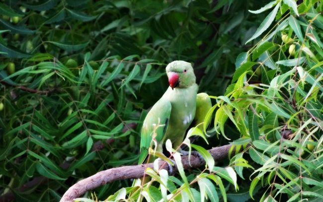 Rose Ring Parakeet Beautiful Nature Green Bird Bird Photography Birdwatching Birding