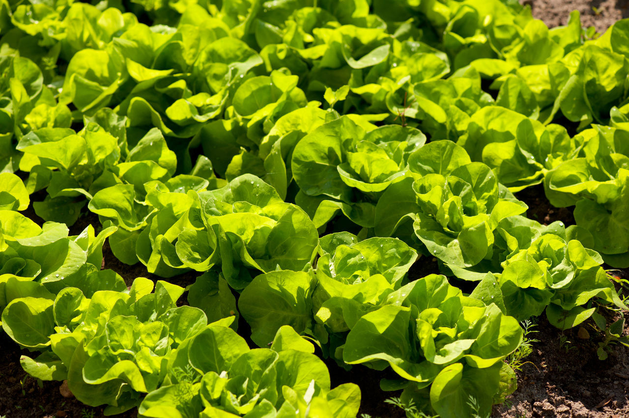 Heads of fresh green Lactuca sativa lettuce grow in ground in patches, agriculture leaves detail in Poland. Horizontal orientation, nobody. Agriculture Cultivate Foliage Food Garden Green Greenery Ground Grow Growing Healthy Eating Horticulture Lactuca Sativa Leaf Lettuce Nature No People Patches Plant Plants Rows Seedlings Soil Vegetable Vegetables