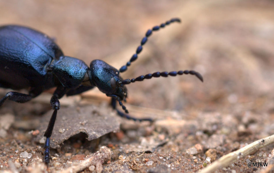blue beetle Animal Themes Beetle Blue Close-up Insect Macro Photography No People Outdoors Wildlife & Nature Wildlife Photography