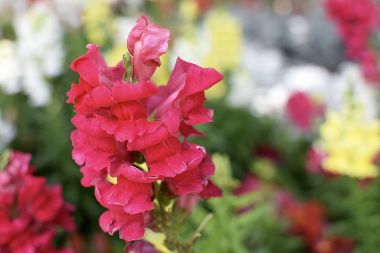 Flower Nature Beauty In Nature Focus On Foreground Fragility Petal Close-up Flower Head Freshness Plant Growth Red Pink Color Day No People Outdoors Nikon 35mm