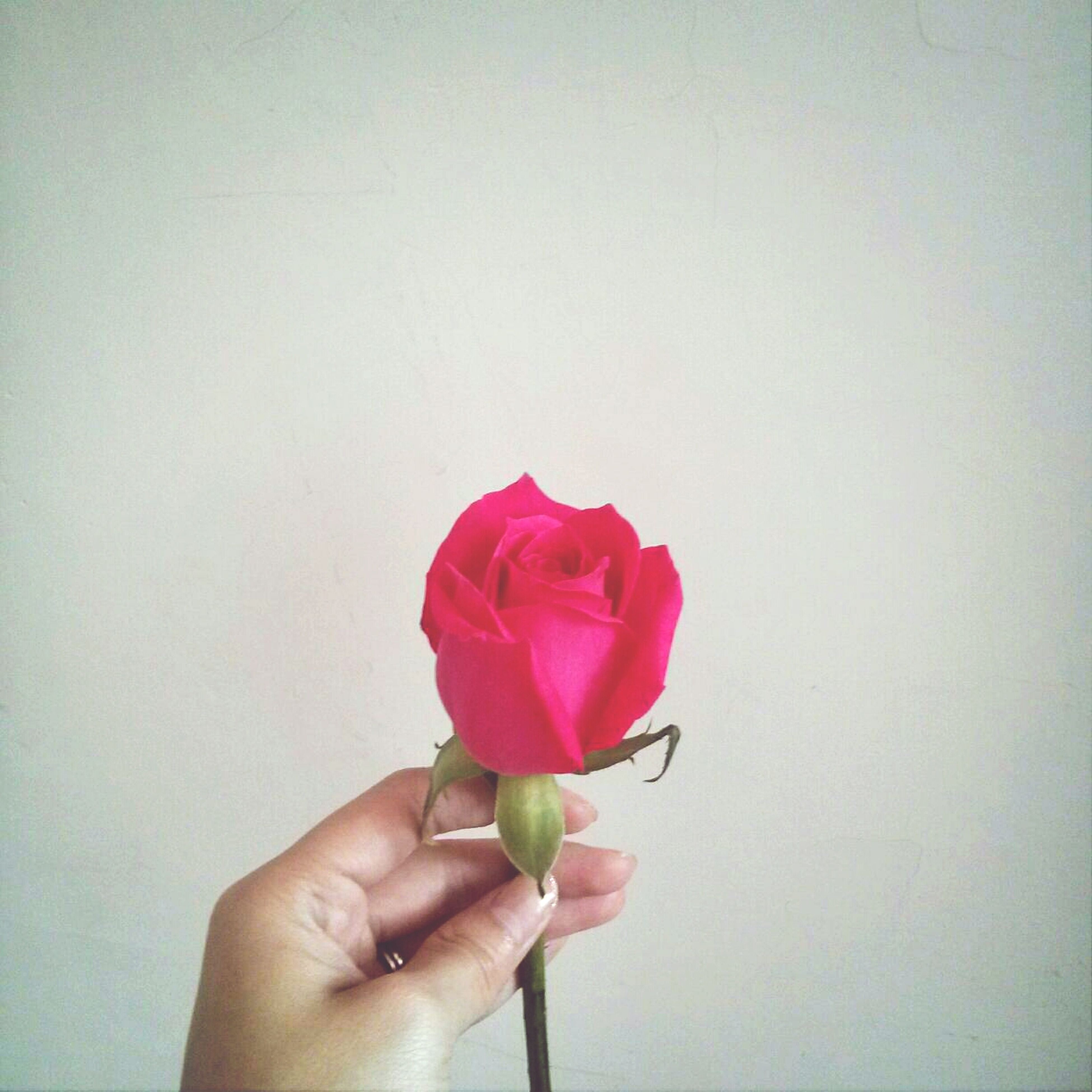 flower, person, holding, petal, fragility, flower head, studio shot, part of, freshness, cropped, close-up, rose - flower, single flower, copy space, wall - building feature, white background, stem