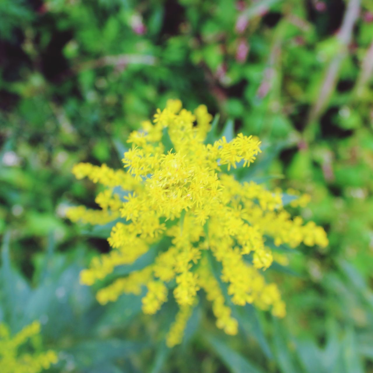 Nature Goldenrod
