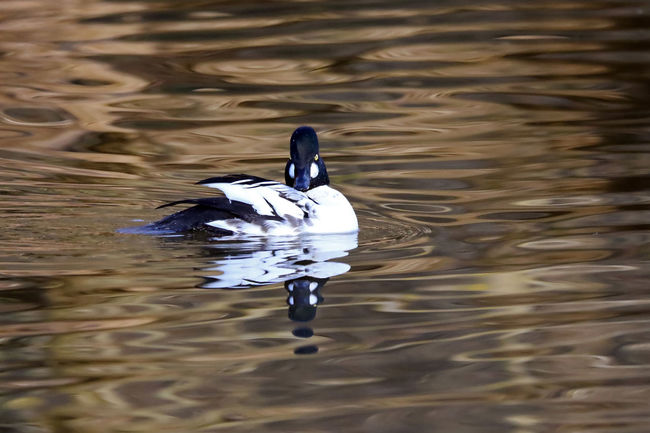 Goldeneye Duck EyeEm Best Shots EyeEm Nature Lover Golden Eye Animal Themes Animal Wildlife Animals In The Wild Beak Bird Close-up Day Duck Eye4photography  Lake Nature No People One Animal Outdoors Reflection Rippled Swimming Water Water Bird Waterfront
