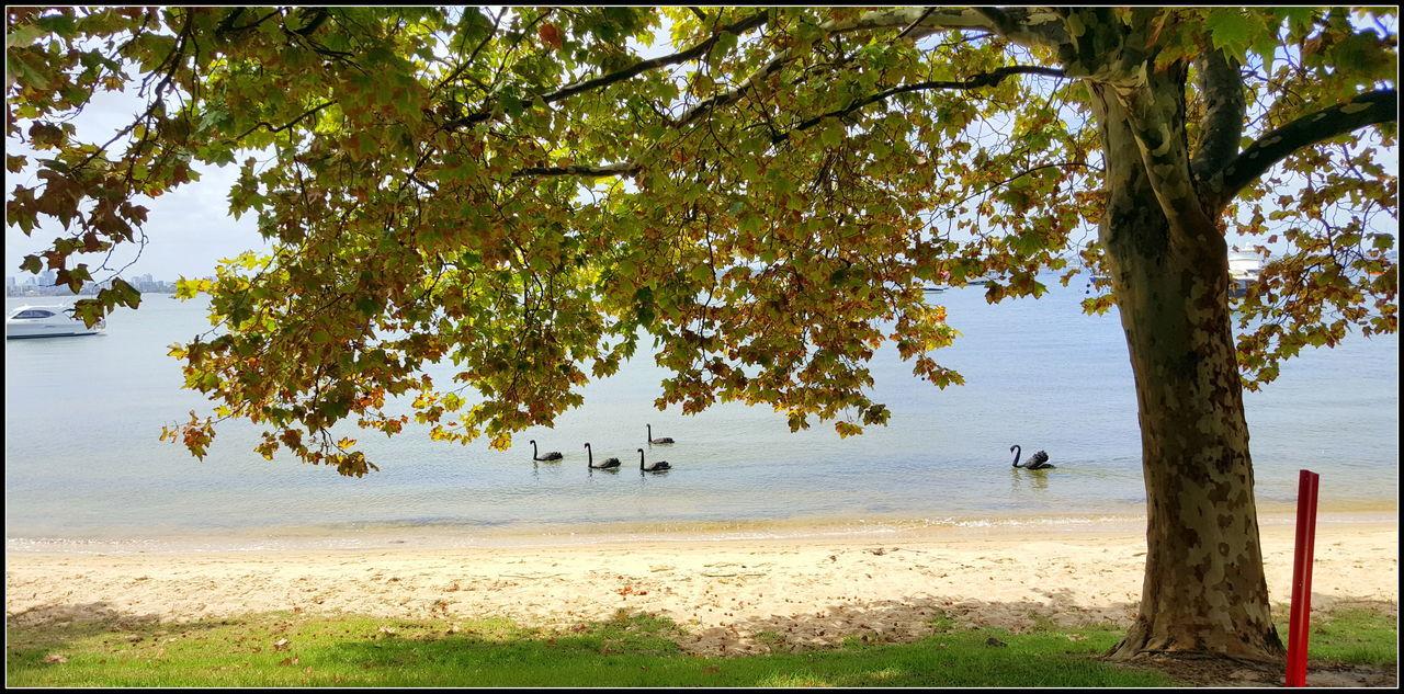 Black Swans MG Cars Mounts Bay Perfect Weather Perth Summertime Swan River Vintage Cars Western WesternAustralia