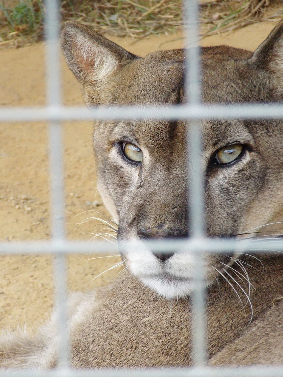Beautiful stock photos of puma,  Animal Themes,  Animals In The Wild,  Cage,  Close-Up