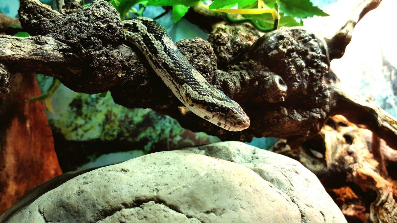Close-up One Animal Snake Cornsnake Reptiles Nature Snakeskin Snake Eyes