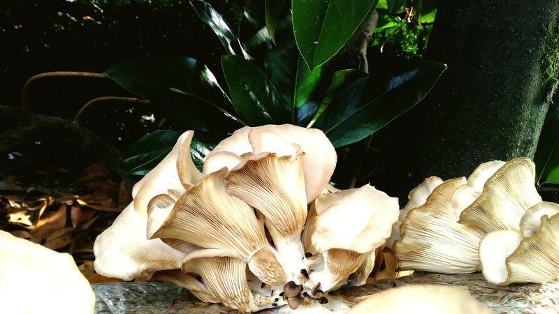 Funghi Pleurotus Mushroom