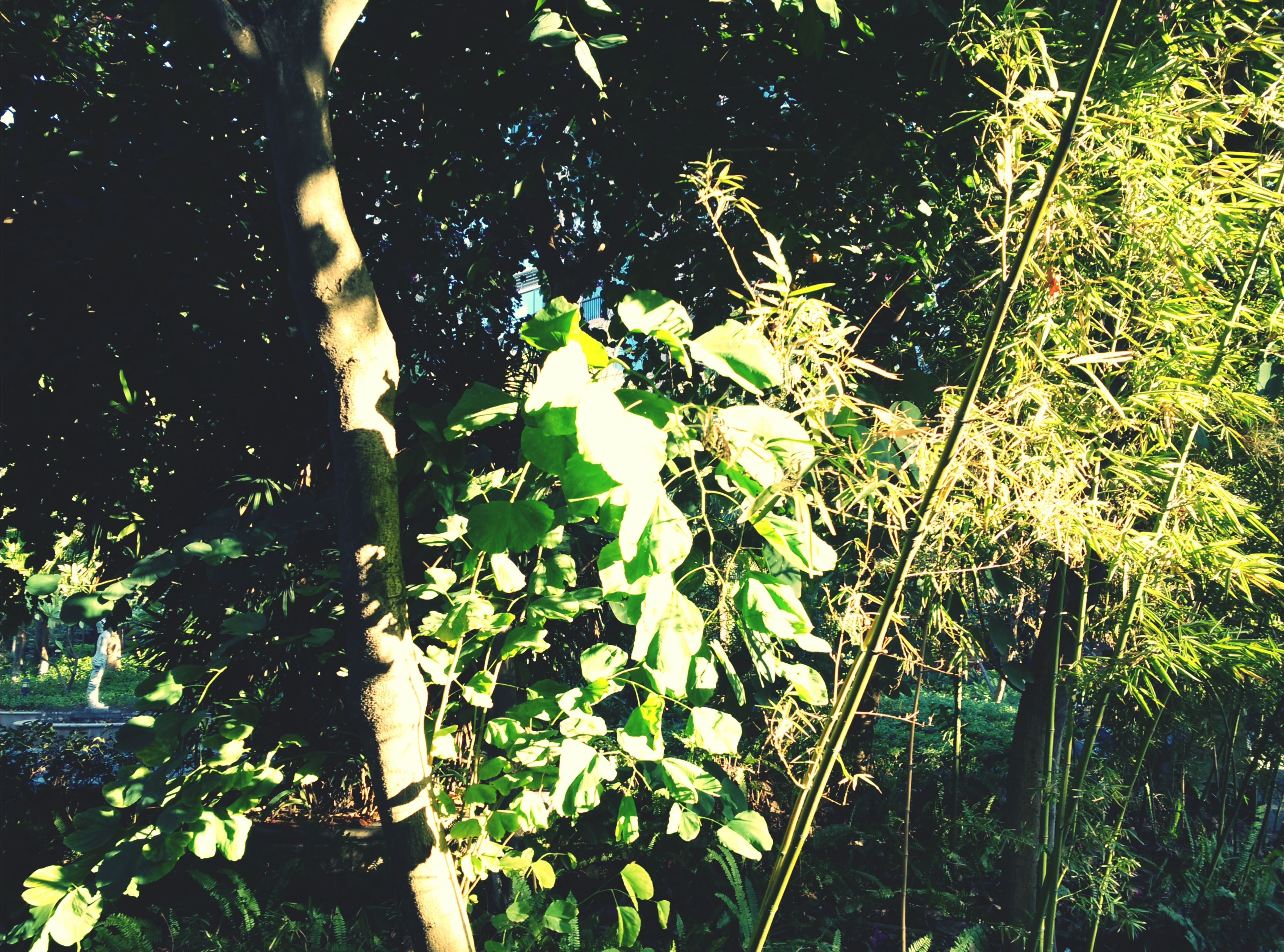 growth, tree, green color, leaf, plant, nature, branch, tree trunk, tranquility, beauty in nature, sunlight, forest, growing, day, green, outdoors, low angle view, lush foliage, freshness, no people