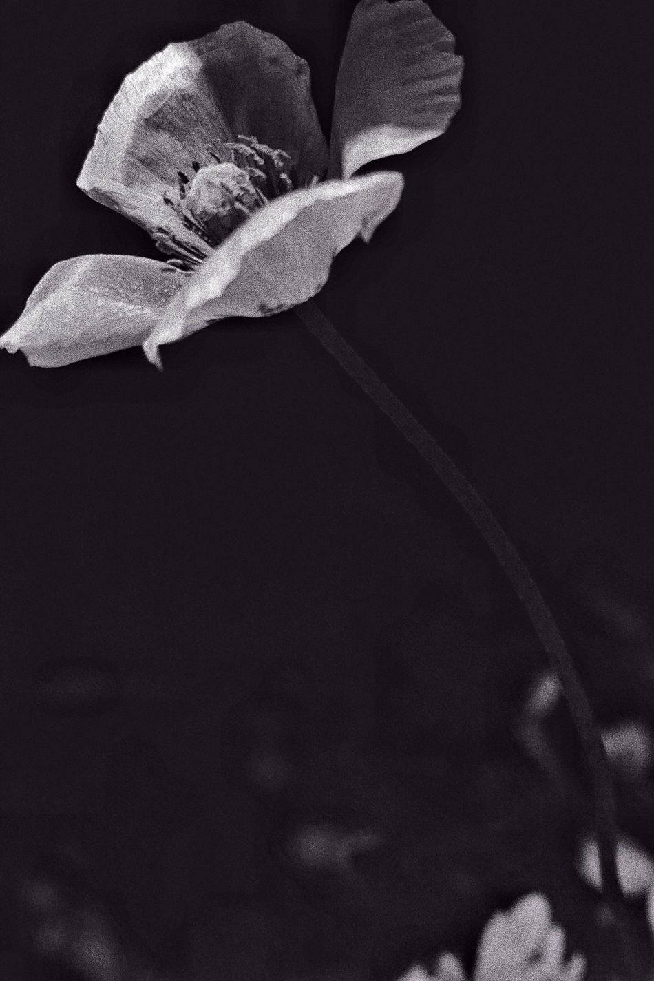 Flower Petal Fragility Flower Head Beauty In Nature Growth Freshness Nature Plant Wildflower Poppy Flowers Poppy Weeds Are Beautiful Too Bnw Noir Et Blanc Monochrome Cocrico 芥子 ケシ nNo PeoplelLeafbBloomingdDayoOutdoors