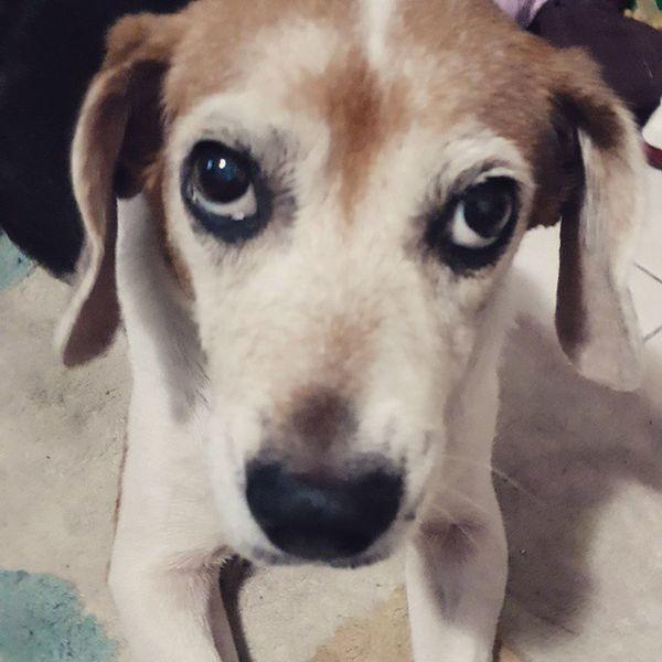 天然煙燻眼線 so cool Mymilinbaby Beagle