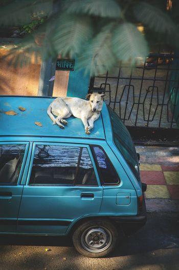 Dog On Car Taking Rest