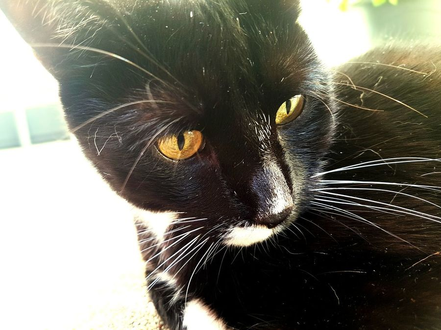 Domestic Cat Pets Domestic Animals One Animal Feline Mammal Animal Body Part Black Color Animal Themes Portrait Animal Look At The Eyes Looking At Camera No People Nature Day Kitty Katze Kater Stinker Black Cats Cute Cats Katzenfoto Meow Niederneuendorf