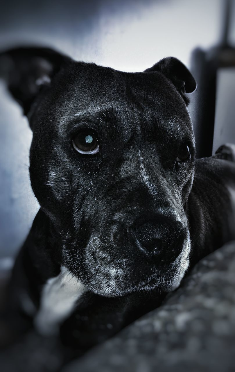 dog, pets, domestic animals, mammal, animal themes, one animal, black color, close-up, indoors, no people, portrait, day