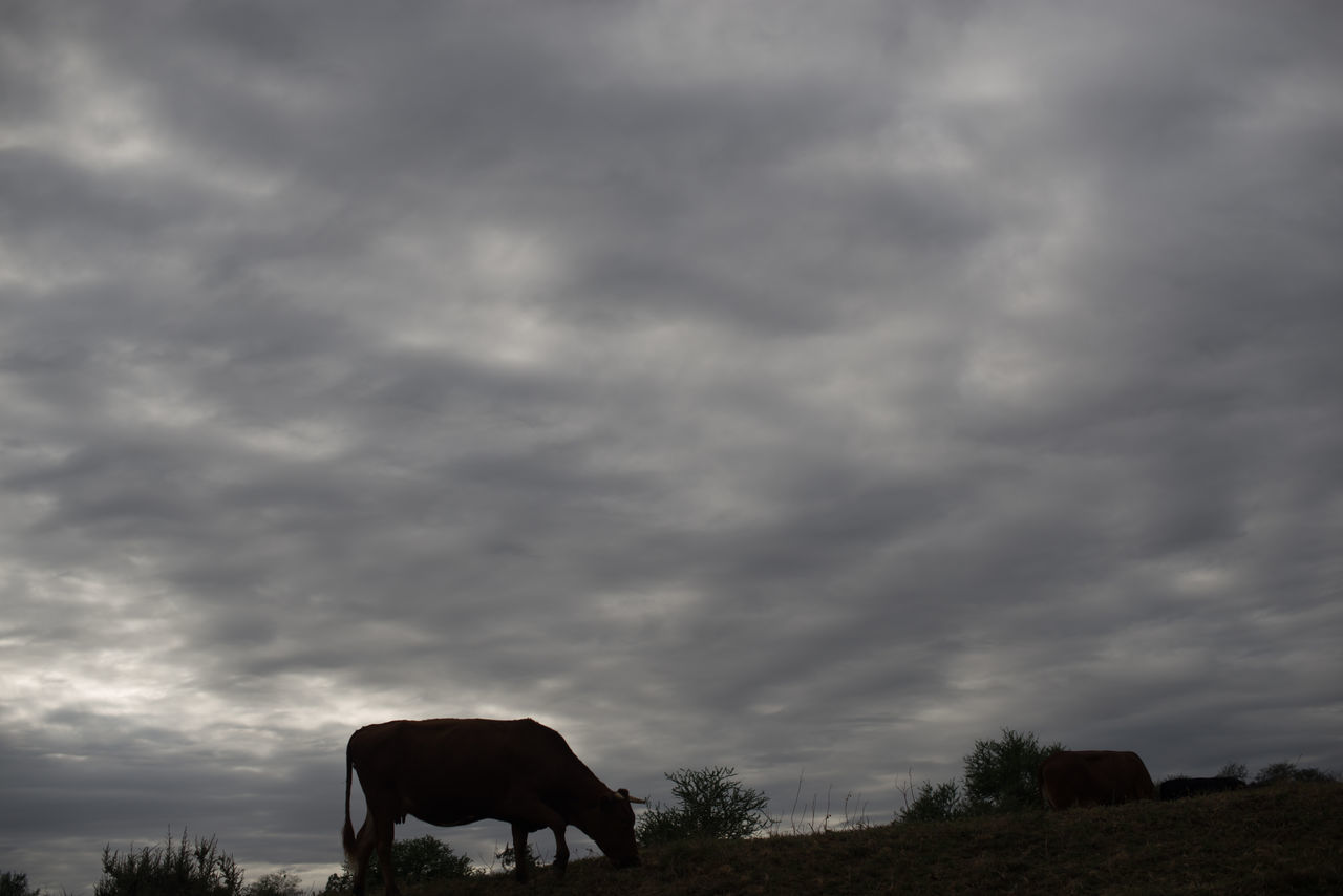 Grazing Animal Cloud - Sky Cow Grazing Grazing Cattle Low Angle View Nature No People Outdoors Silhouette Sky