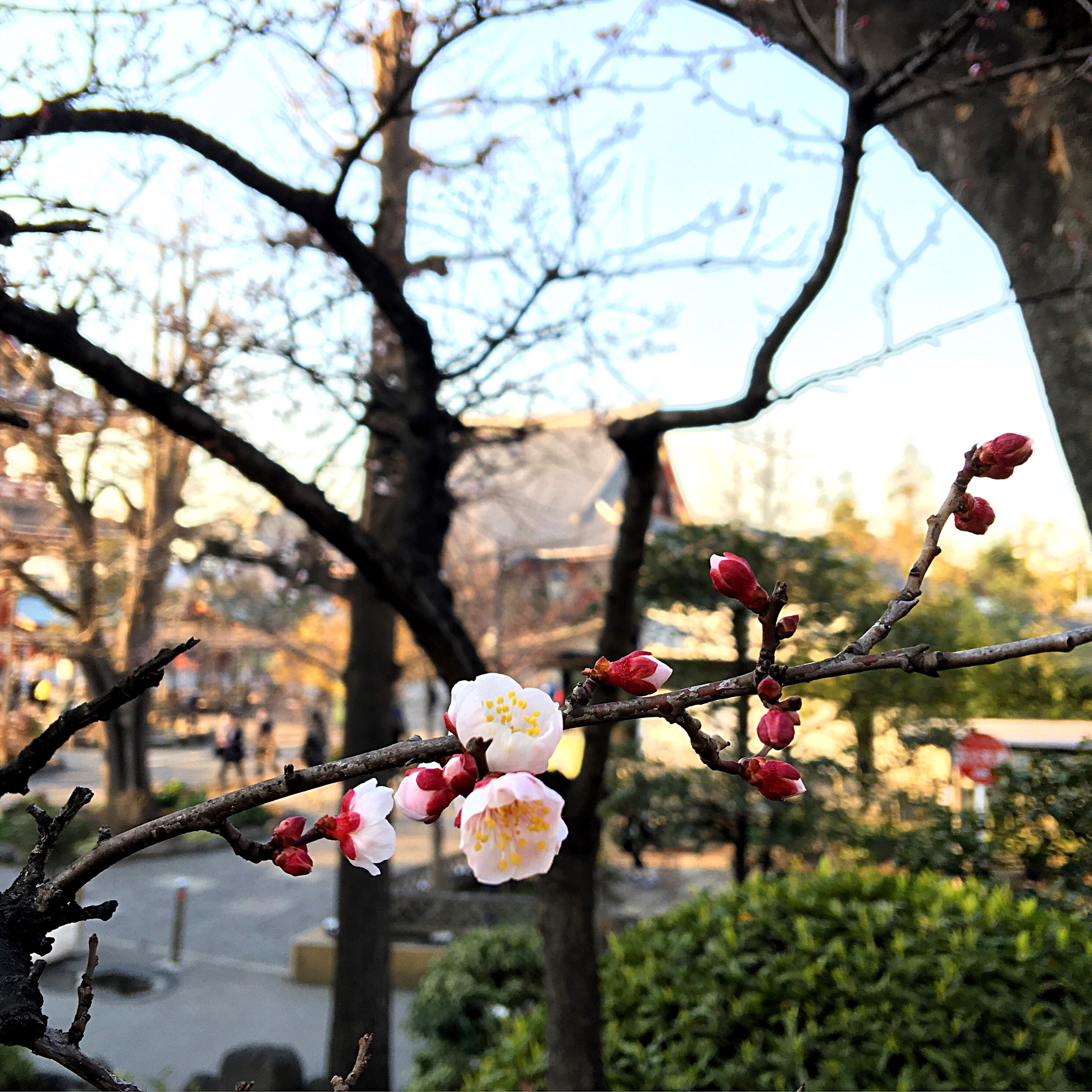 tree, flower, growth, branch, nature, no people, outdoors, freshness, sky, beauty in nature, day, low angle view, close-up, fragility, plum blossom