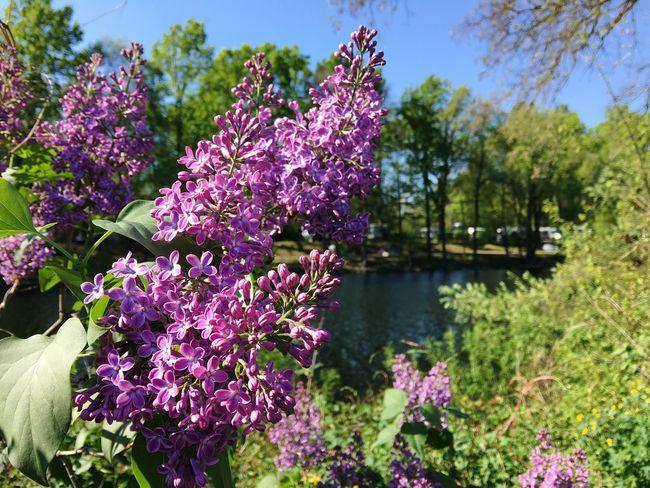 Flieder Lilac