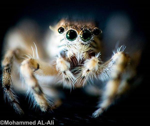 Stare Gaze Spider Eye Olympus PL7 Macro Arthtopods Lumix Lumix20mm Basrah Iraq Closeup Olympuspl7