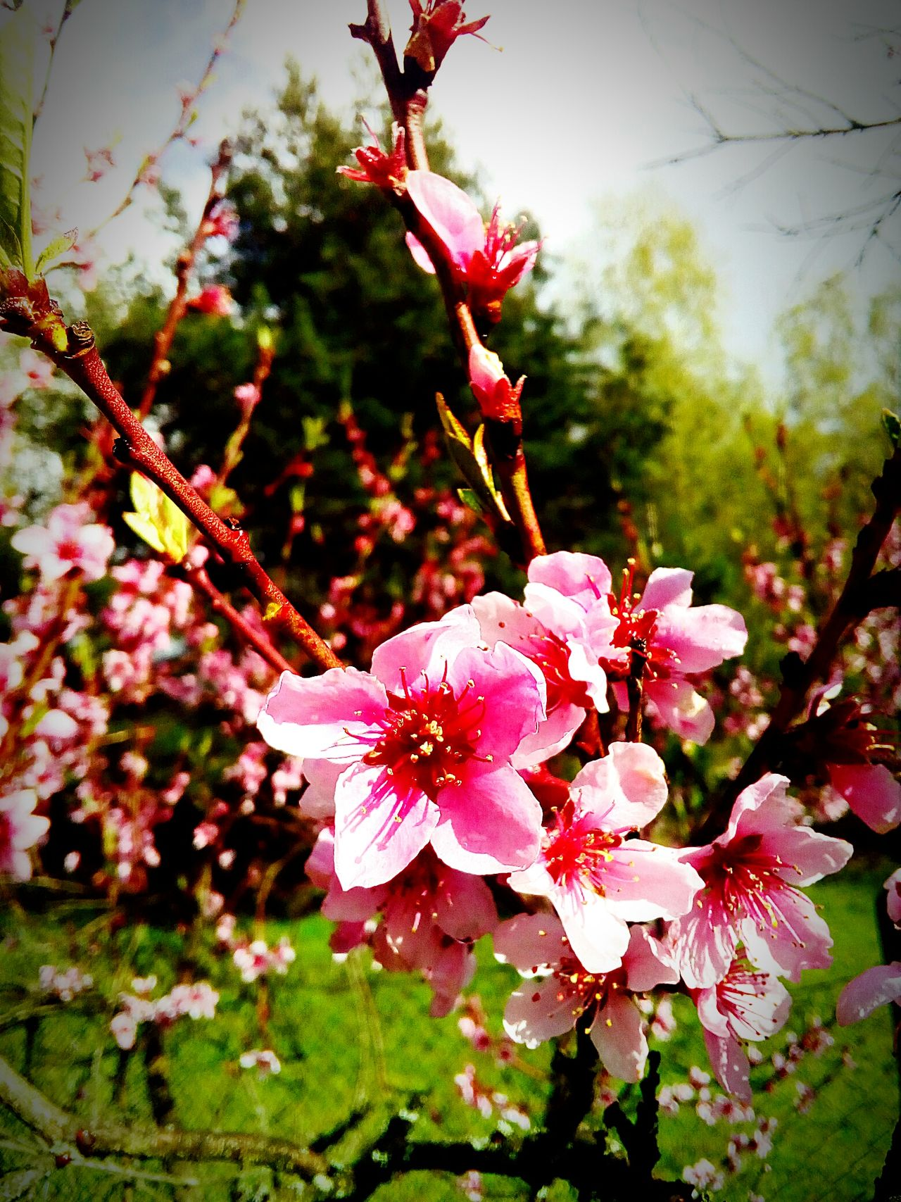 Pfirsich Blüten Pink Color Beauty In Nature Springtime First Eyeem Photo