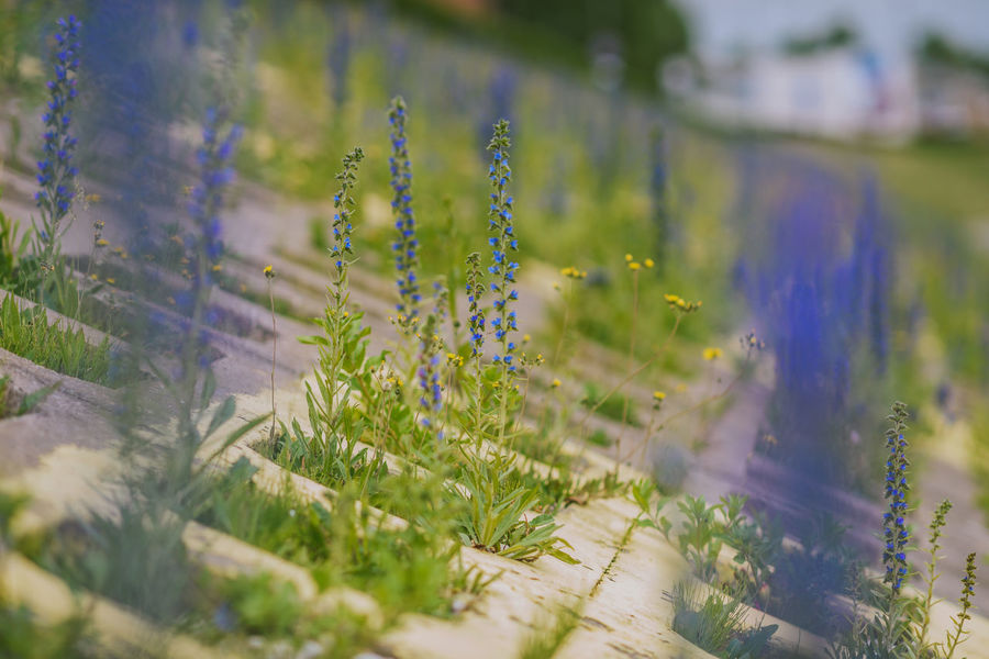 City Flowers Beauty In Nature Blossom Blue Blossom City Flowers Close-up Day Field Flower Fragility Freshness Grass Green Color Growth No People Outdoors Plant Selective Focus Summer Tranquility