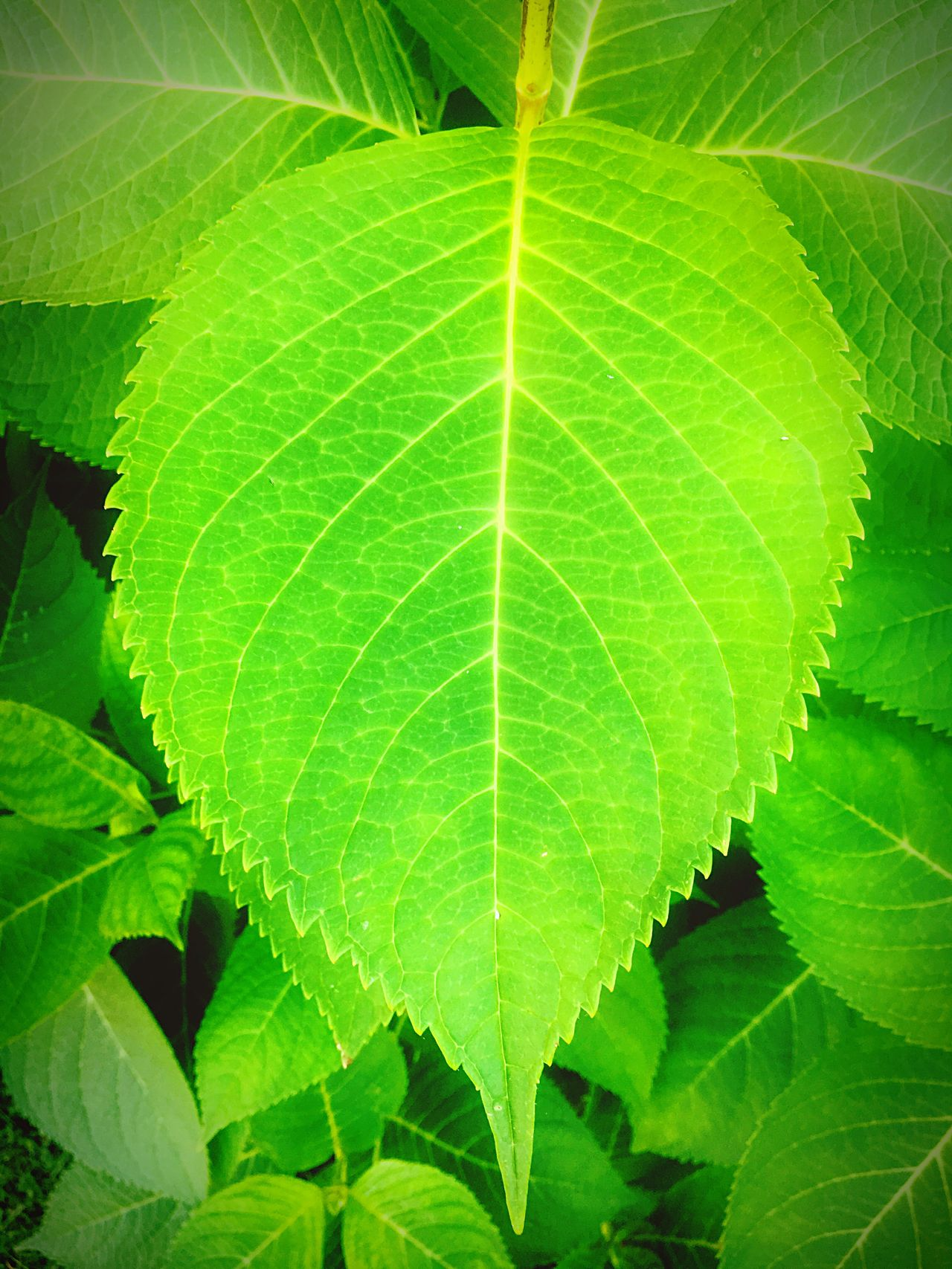 Fine Art Photography Green Green Leaves Green Color Green Nature Green Leaves. Nature Nature_collection Nature Photography Naturelovers Nature On Your Doorstep Leaves🌿