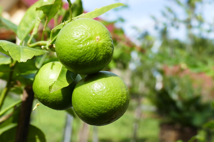 Beauty In Nature Branch Citrus Fruit Close-up Day Focus On Foreground Food Food And Drink Freshness Fruit Fruits In Thailand Green Color Growing Growth Hanging Healthy Eating Leaf Lemon Tree Lime Nature No People Outdoors Thailand_allshots Tree