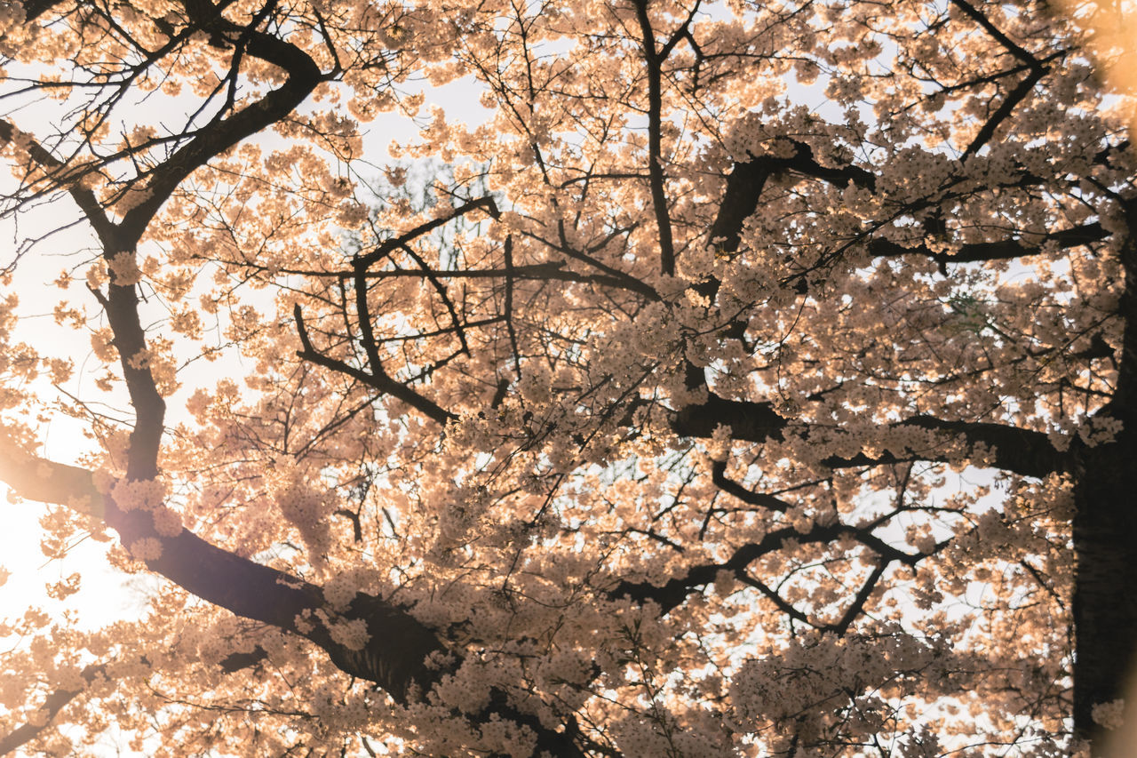 Cherry Blossom Cherry Tree Day Flower Japanese Cherry Blossoms Japanese Cherry Tree. Nature No People Outdoors Tree