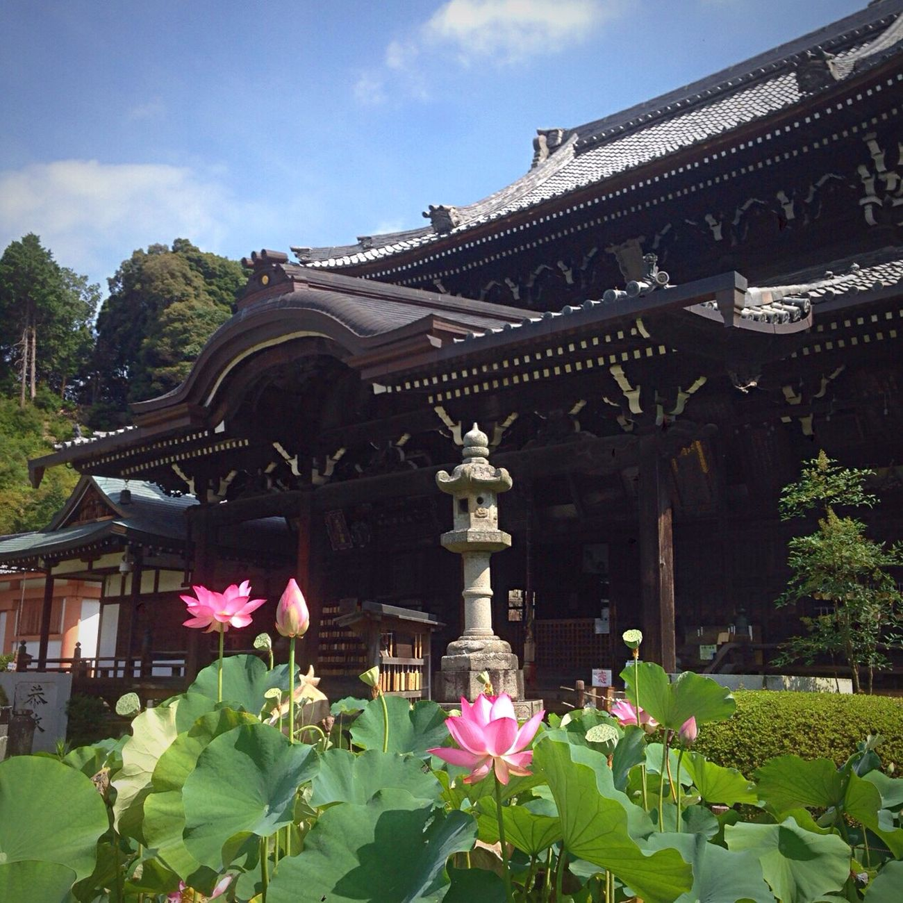 Kyoto Japan Uji Mimurotoji Lotus Flower Now Temple Summer 京都 日本 宇治 三室戸寺 蓮 夏 今