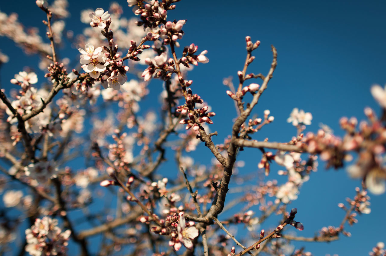 Beautiful stock photos of cherry, Branch, Cherry Blossom, Cherry Tree, Clear Sky