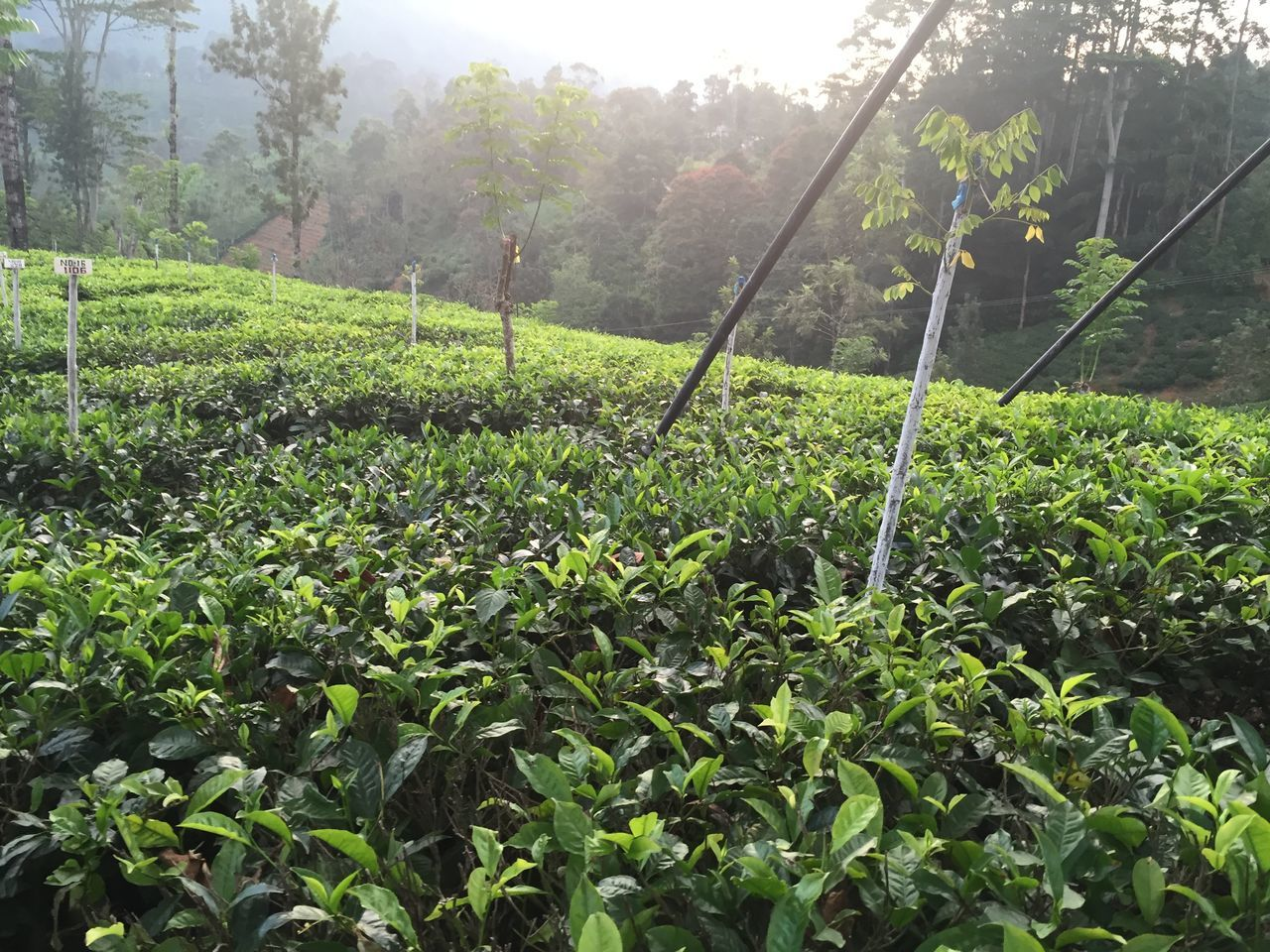 tea plantations Agriculture Beauty In Nature Day Field Freshness Green Color Growth Landscape Leaf Lush - Description Nature No People Outdoors Plant Plantation Rural Scene Scenics Tea Tea Crop Tea Plant Tea Plantations Tranquil Scene Tranquility Tree
